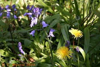 bluebells & dandelions