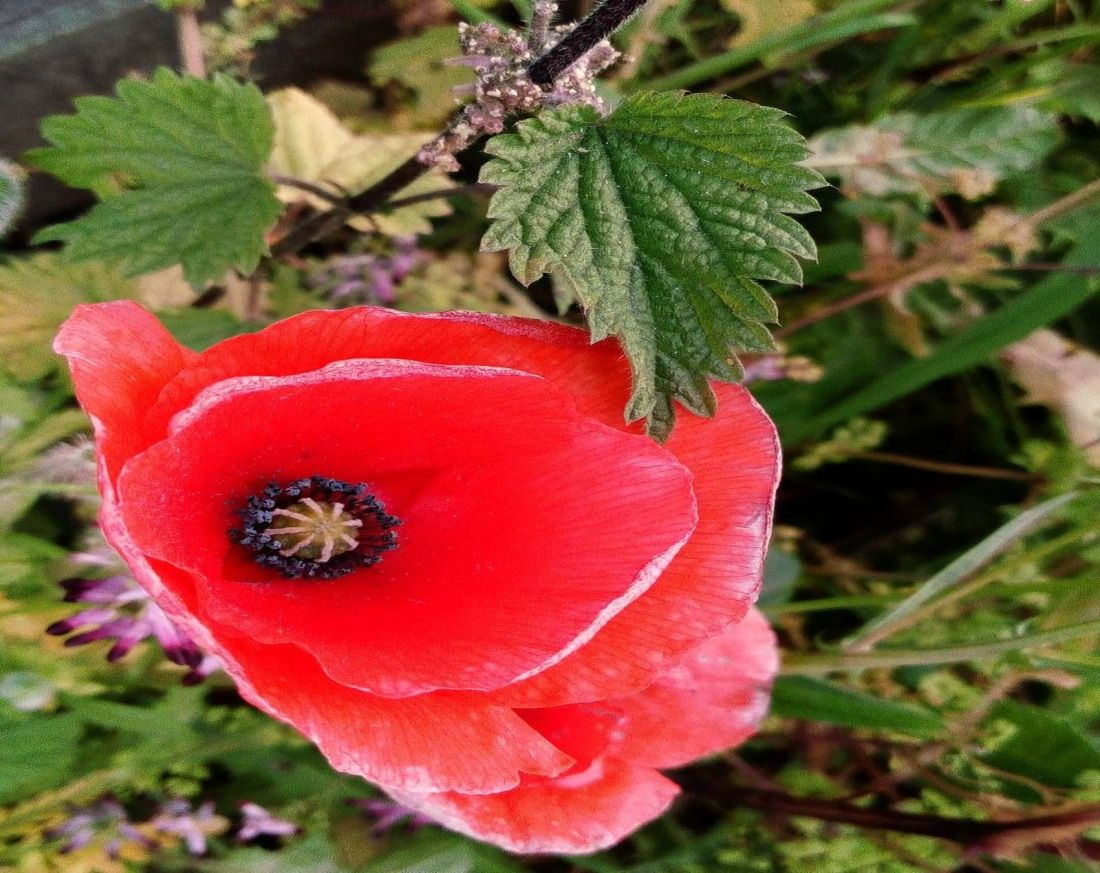 nettles and poppies