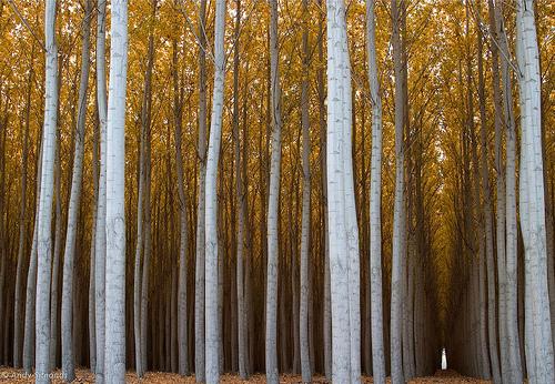 poplar-trees