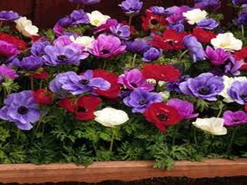 Anemones-Flower6