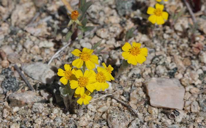 desert blooming