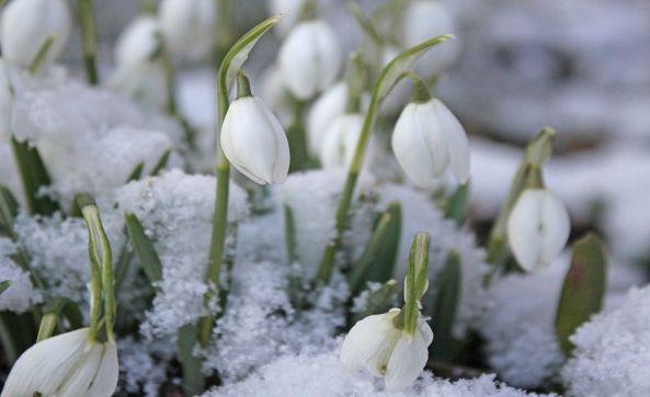 snowdrop-622961_1280