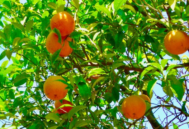 orange-lemon tree