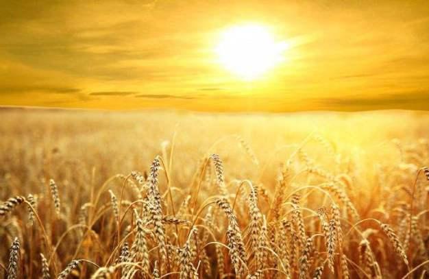 corn-field(1)(1)